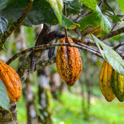 Kratom Tea - Red Vein Leaves